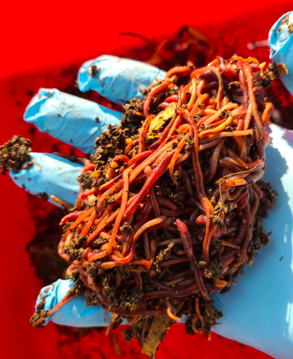 red wigglers composting worms