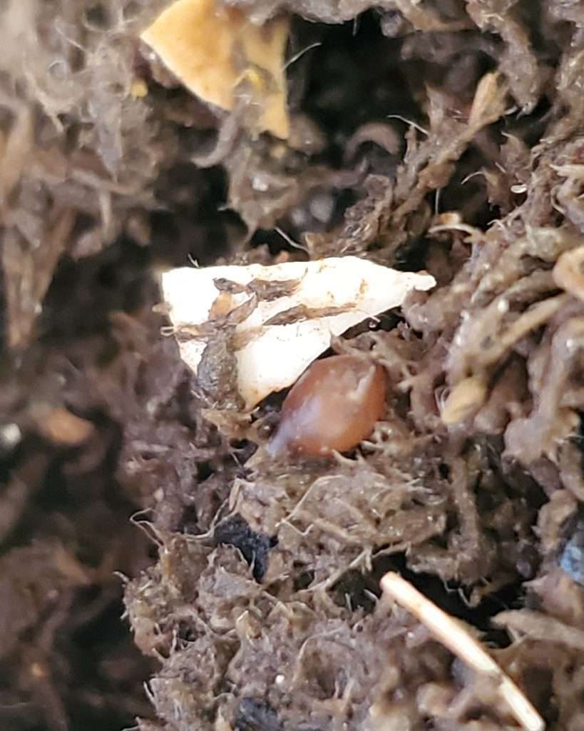 mature red wiggler compost worm egg